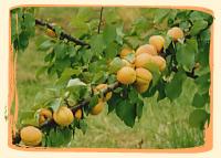 Abricot Lady Cot et Bergeron. - Vergers des Moncels - Producteur de fruits à Lagney