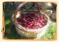Cerises Noir de Meched - Vergers des Moncels - Producteur de fruits à Lagney