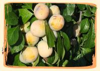 Mirabelle - Vergers des Moncels - Producteur de fruits à Lagney