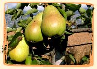 Poires Guyot - Vergers des Moncels - Producteur de fruits à Lagney