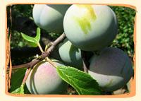 Reine Claude - Vergers des Moncels - Producteur de fruits à Lagney